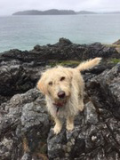 Dog missing near Gorge Harbour