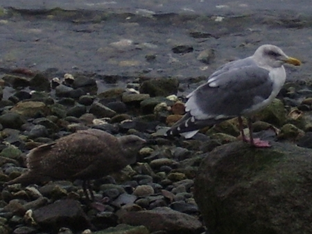 Glaucous-winged - Western Gull Hybrid - photo by Sandra Wood