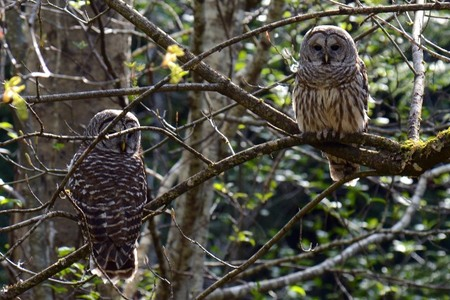 Barred Owls in Whaletown
