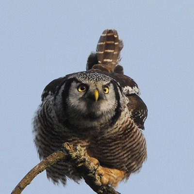 Hawk Owl - photo by Mike Yip