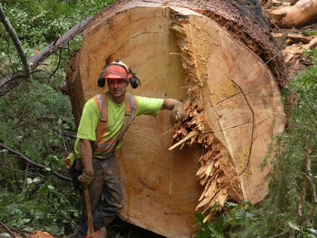 It took two hours of chainsawing before faller  James Flawith of Precision Tree Services from Comox dropped the tree precisely where he wanted it to go. He described it as like trying to cut stone.