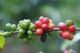ripe (red) and unripe coffee cherries
