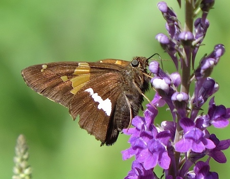 Silver-spotted skipper discovered on Cortes by Barrie Saxifrage and Christian Gronau
