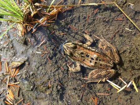 Columbia Spotted Frog using one year old wetland at Snk'Mip Marsh.
