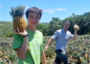 Pineapple Harvesting Ryan & Tosh